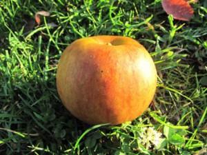 Boskoop Bio-Apfel