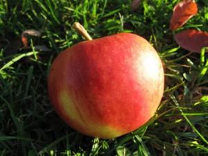 Elstar Bio-Apfel