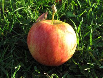 Pinova Bio-Apfel