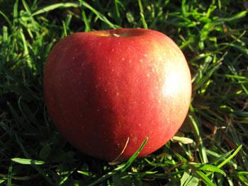 Siwa Bio-Apfel